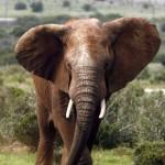 Voi rừng châu Phi ngày càng ít chủ yếu do săn bắn.