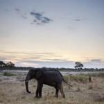 Một con voi châu Phi ở công viên quốc gia Hwange, Zimbabwe